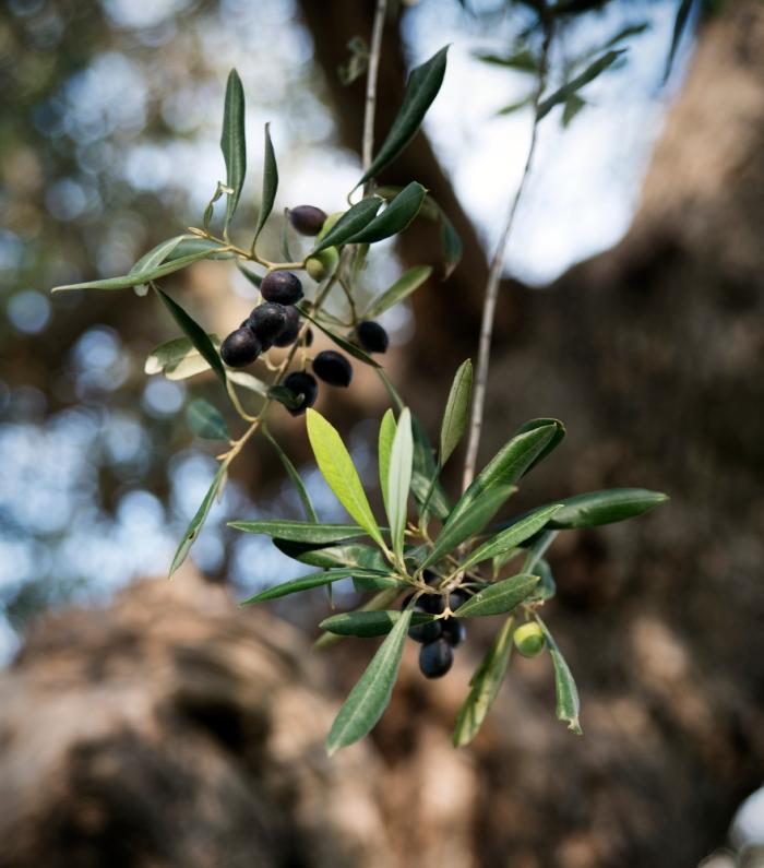 oliven3-ex