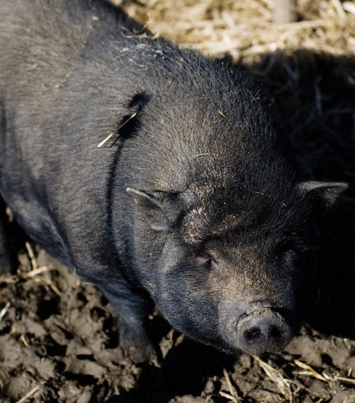 Schwarzes Schwein | Claudia Colombo