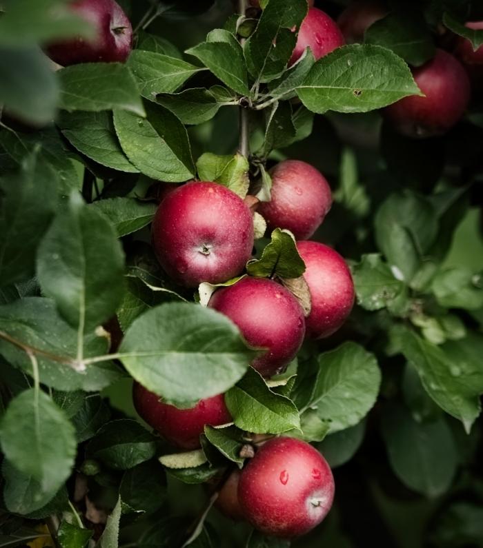 Apfelbaum | Claudia Colombo Fotografie
