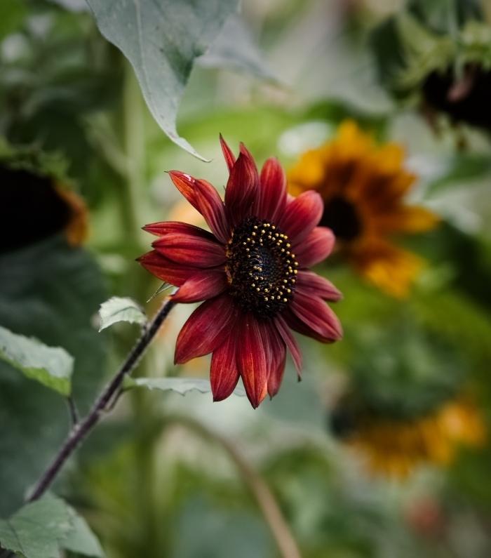 Sonnenblume | Claudia Colombo Fotografie